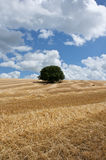 Solitary tree in the corn field Stock Photos