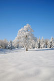 Solitary tree covered with snow. Isolated  tree covered with snow under a blue sky Royalty Free Stock Photos