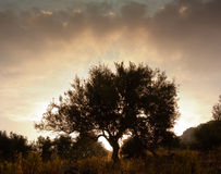 Solitary tree at dawn Stock Photography