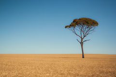 A solitary tree in a field Royalty Free Stock Photography