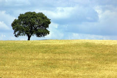 Solitary tree in field. Stock Image