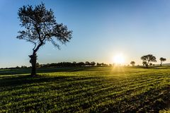 Solitary Tree on Field at Sunrise royalty free stock photo