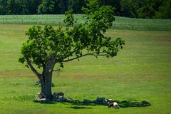 Solitary tree and flock of sheep in its shade. Idyllic country scene with a flock of sheep in the shade of a large tree stock photography