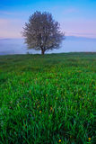 Solitary tree. Foggy summer morning in the mountains. Blooming tree on the hill with fog. Tree from Sumava mountain, Czech Republi Stock Photography