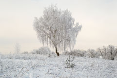 Solitary tree frosted Royalty Free Stock Photos