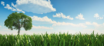 Solitary tree in a grass field. Solitary tree in a grass field, standing on the left hand side of the scene, viewed from low point ow view, with grass very Royalty Free Stock Photo