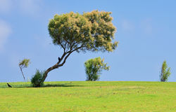 Solitary tree on the grass. Royalty Free Stock Image