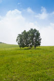 Solitary tree on grassy Stock Image