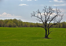 A solitary tree in a green farmers field Stock Photography
