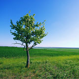 Solitary tree on green grassy field and blue sky background Royalty Free Stock Image