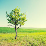 Solitary tree on green grassy field and blue sky background Royalty Free Stock Images