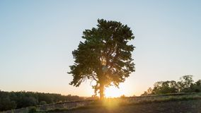 Solitary tree on green meadow at sunset. One tree at field.  stock footage
