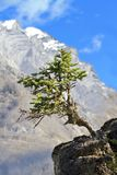 Solitary tree grows from jutting rock. Solitary tree boldly stands out from jutting rock with mountain, clouds, and blue sky behind.  Location is on Mt. Shark Royalty Free Stock Photos