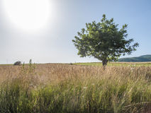 Solitary tree. Image of solitary tree in meadow Stock Photography