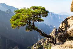 Solitary Tree In The Grand Canyon Of The West Sea On Mt Huangshan, China Royalty Free Stock Images