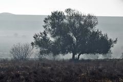 Solitary tree on the lawn. Early in the morning, a little hazy Royalty Free Stock Image
