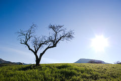 Solitary tree without leaves Royalty Free Stock Photography