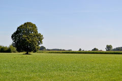 Solitary tree. Royalty Free Stock Image