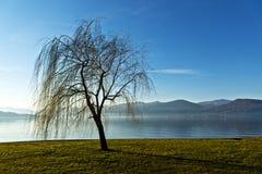 Solitary tree near the lake Stock Photography