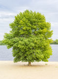 Solitary tree on the sandy bank of the river Stock Photography