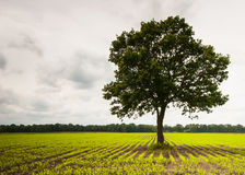 Solitary tree in a silage maize field Stock Image