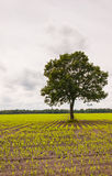 Solitary tree in a silage maize field Royalty Free Stock Photo