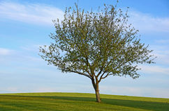 Solitary tree in spring Royalty Free Stock Photos
