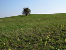 Solitary tree in spring Stock Image