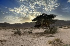 Solitary tree in Timna park, Israel Royalty Free Stock Photo