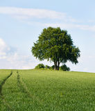 Solitary tree on the top of field in early summer Stock Photography