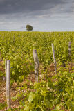 Solitary tree in the vineyards Royalty Free Stock Photography