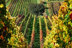 Solitary tree in vineyards at dawn in the autumn.South Moravia.Czech republic. royalty free stock images