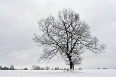 Solitary tree in winter Stock Images