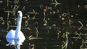 Solitary Trumpeter Swan, Cygnus buccinator stock video footage