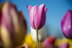 Solitary tulip among many Stock Images