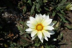 Solitary white flowerhead of gazania rigens. Solitary white flower head of gazania rigens Stock Photo