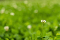 Solitary white wild flower Royalty Free Stock Image