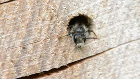 Solitary wild bee Osmia bicornis looking out of a hole in a tree trunk. insect hotel. Solitary wild bee Osmia bicornis looking out of a hole in a tree trunk stock video footage