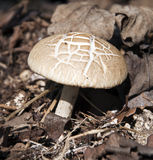 Solitary Wild Mushroom Stock Image