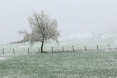 Solitary winter tree. Lonely tree during a snow storm in mountain Royalty Free Stock Photography