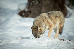 A solitary Wolf feeding in snow. Stock Photo