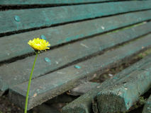 Solitude. Aster flower in focus, wooden bench blurry in the background. Shot on an overcast day in late autumn Royalty Free Stock Image