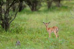Solitude. This baby impala seems annoyed at our presence for disturbing his solitude Stock Image