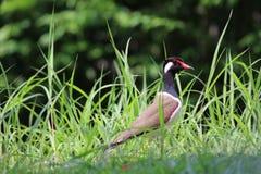 Solitude colorée d'oiseau de plume de vanneau rouge-wattled dans le natu Photo stock
