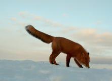 Solitude de l'hiver, la durée de renard Photo libre de droits