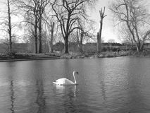 Solitude. This picture was taken in a park in London on a sunny day. I used black&white effect, because I love black&white photos. The swan seems like she is the Royalty Free Stock Image
