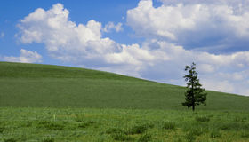 Solitude pine on green field. White clouds Royalty Free Stock Image