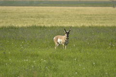 Solitude. A single Pronghorn Antelope Buck stands in solitude in a field of alfalpha Stock Photos