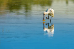 Solitude of the spoonbill. A lonely spoonbill looking for breakfast in lagoon Stock Image