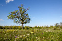 Solitude tree in blossom grassland Stock Images